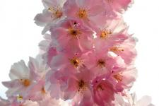 lv_branch of cherry blossoms_01.jpg