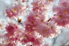 lv_branch of cherry blossoms_02.jpg